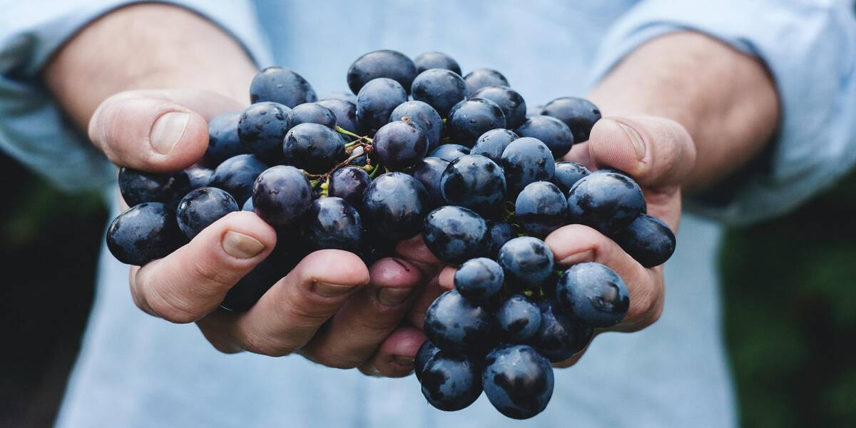 Grapes from wine country harvest