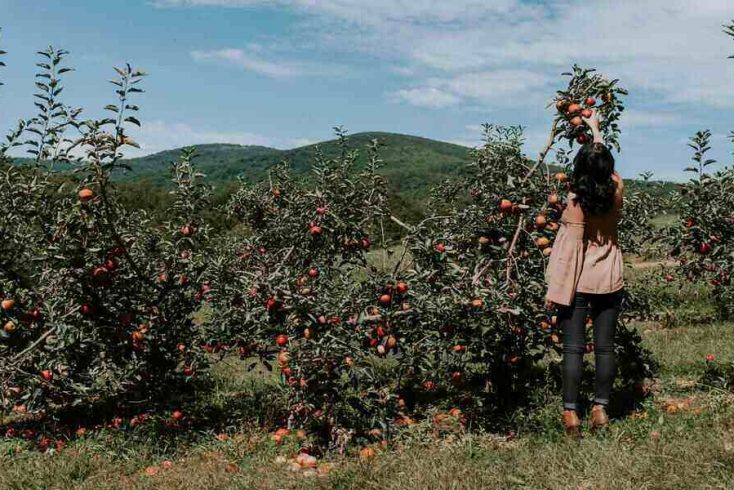 Apple Picking in Upstate New York