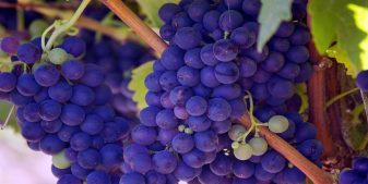grapes on show during top napa tours for wine tasting