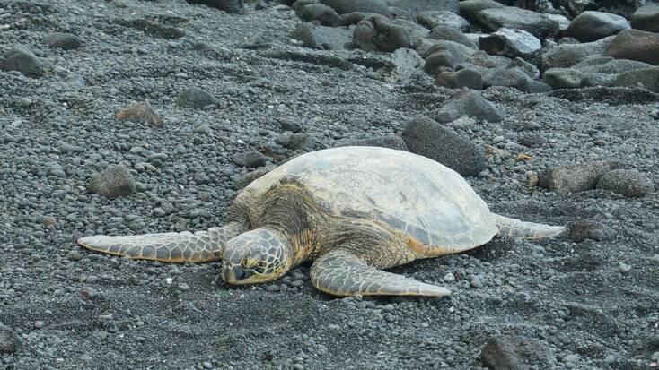 Turtle on Hawaii beaches: black sand beach vacations 2021