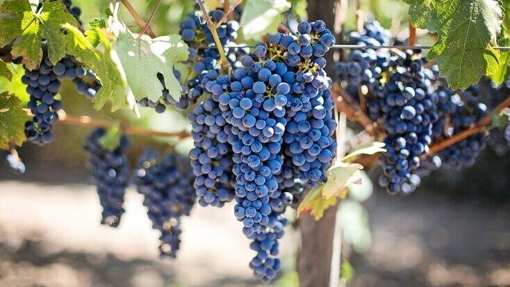 Vineyard tours in Texas Hill County