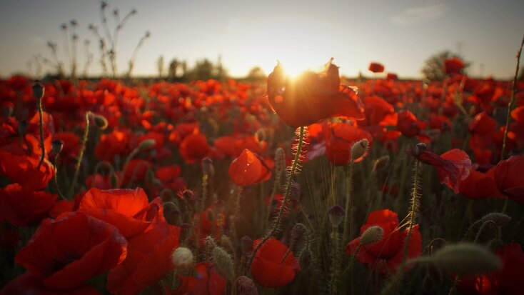 red poppy field with sun shining above for memorial day
