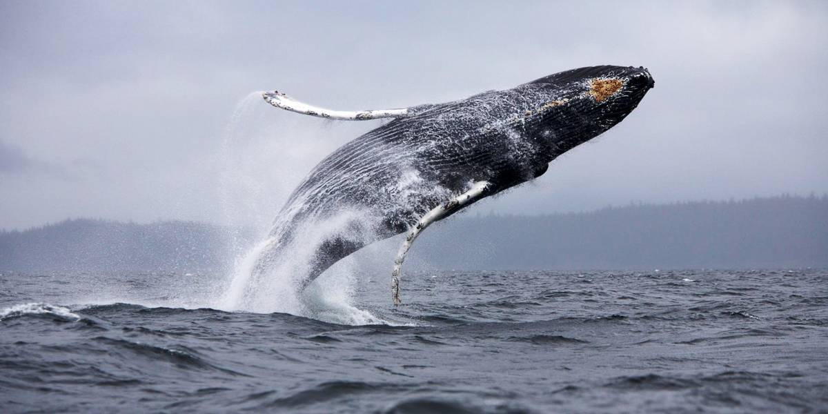A whale jumping out of the ocean