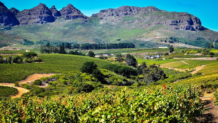 A South African vineyard with a mountain in the background.