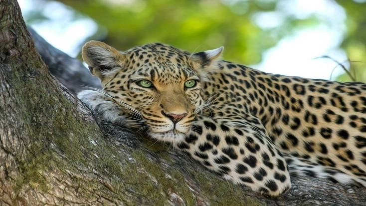 A leopard, one of the big five you can see on safari, relaxing in a tree.
