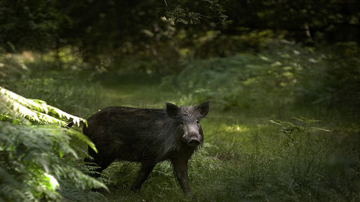 Catch a glimpse of wild boar in the Forest of Dean.