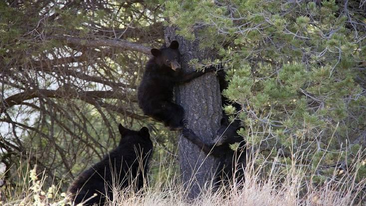 See black bears in Big Bend National Park