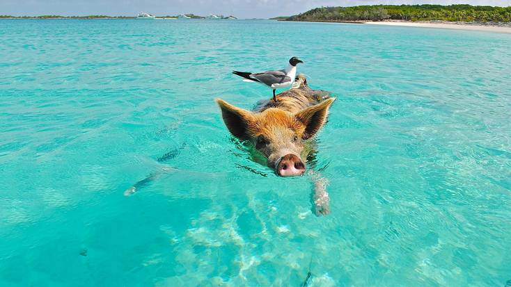 Visit the unique Pig Beach in the Bahamas