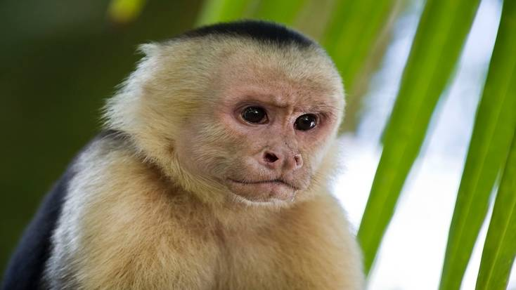 White-chinned Capuchin monkeys can be seen in the Manuel Antonio National Park