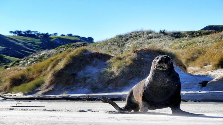 A seal on the beach in Dunedin