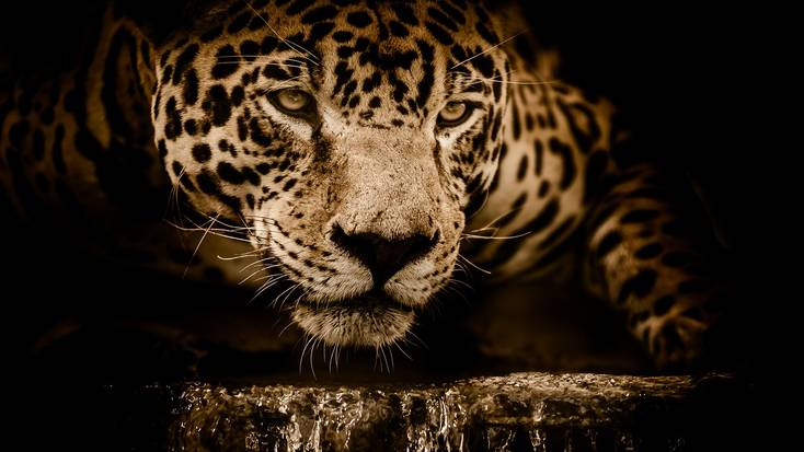 Discover the endangered jaguar in the Corcovado National Park