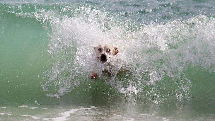 A dog in the sea enjoying dog-friendly beaches