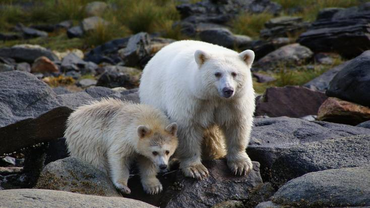 See Kermode  Bears in the wild in British Columbia