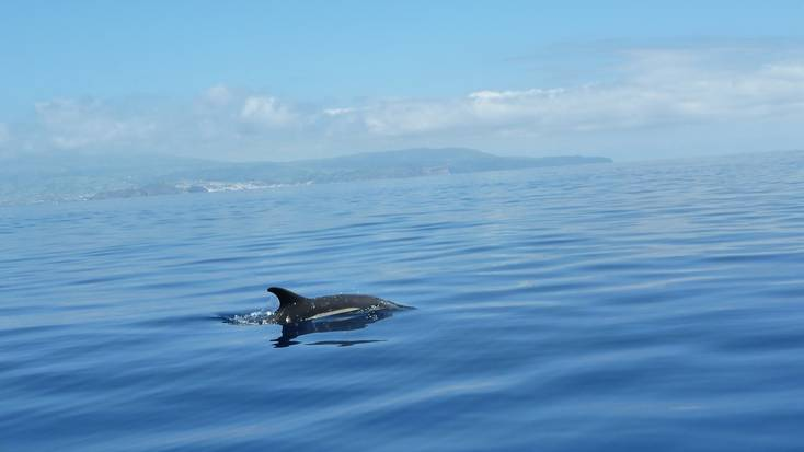 A dolphin swimming off the coast of the Azores