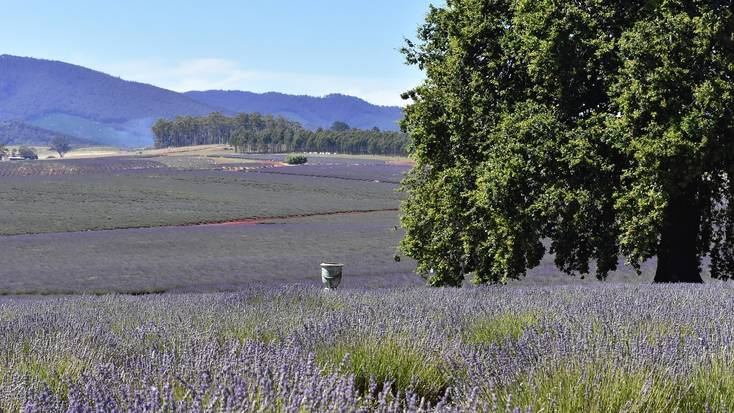 The lavender fields at Bridestowe Estate, Tasmania