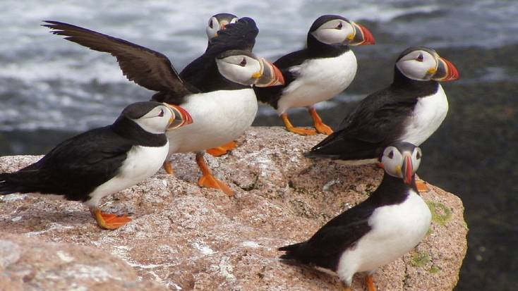 Go bird watching in Maine and see Atlantic puffins