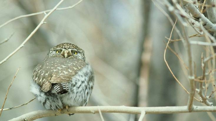 See the Northern Pygmy Owl in Olympic National Park