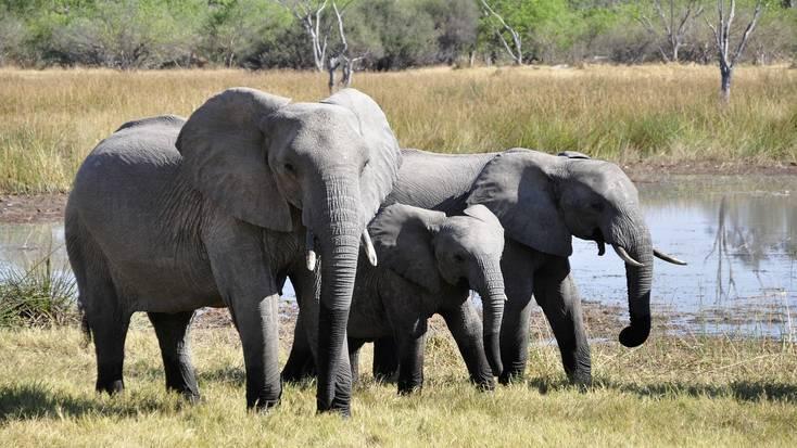 Elephants in the incredible Okavango Delta, Botswana