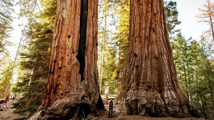 A hiker walking in between two enormous trees in the Sequoia National Forest, California