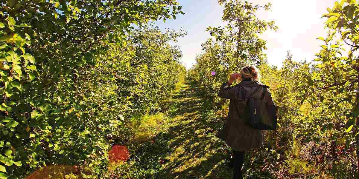 Go apple picking in New England