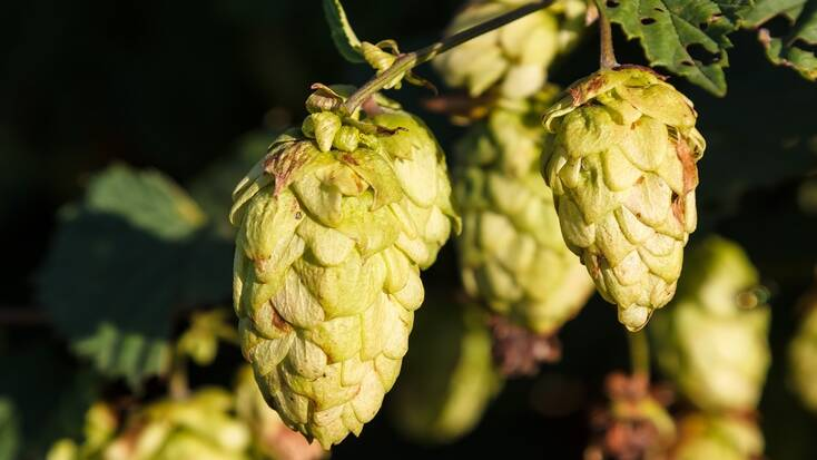 Hops used to make beers in Canada