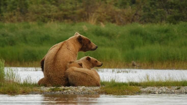 3 bears; Alaskan wildlife