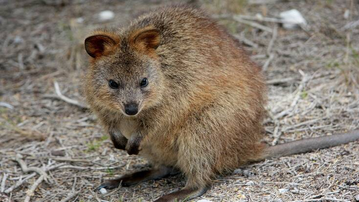 A quokka on Rottnest Island, one of the best places to visit in Australia for wildlife.