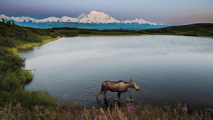 See Alaskan wildlife in Denali National Park on your vacations in Alaska