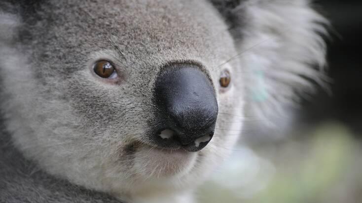 See wildlife like koala bears in the Australian outback