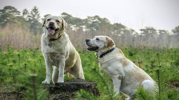 Two Labradors enjoying their pet-friendly vacation