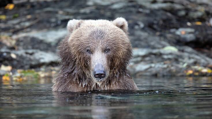 A bear in kodiak national wildlife refuge