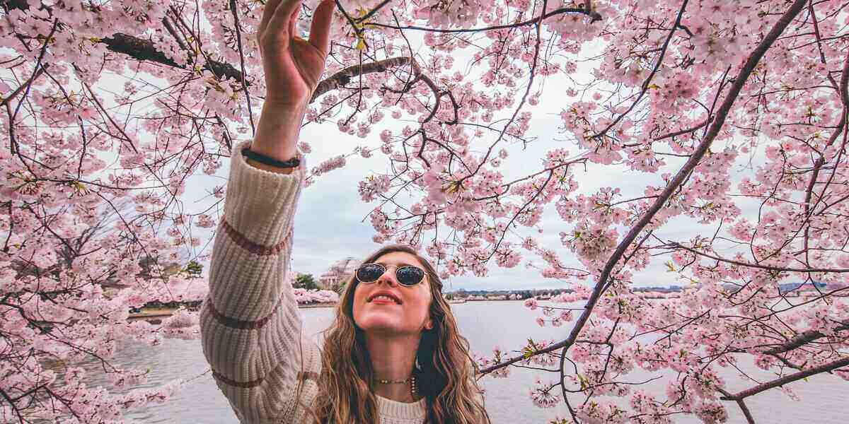 Someone checking out cherry blossom