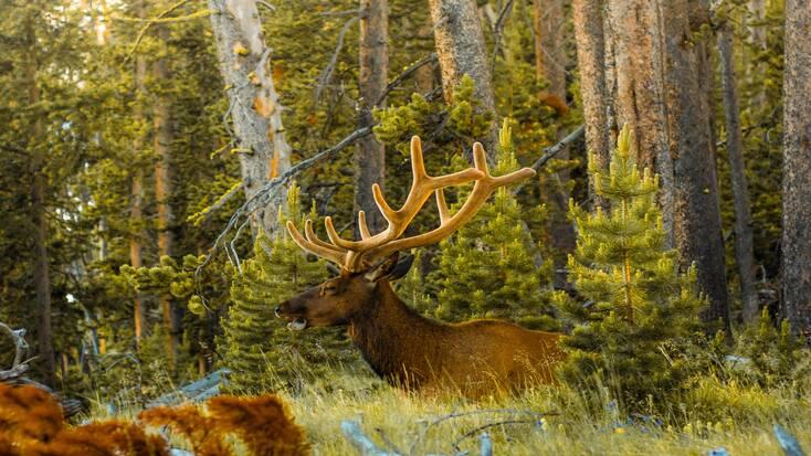 See elk during Yellowstone wildlife tours