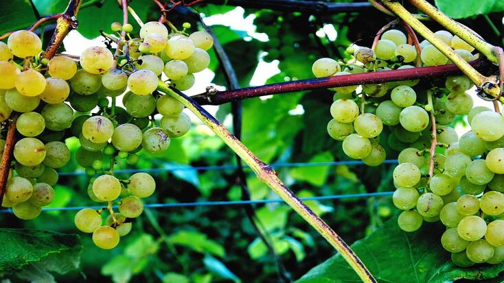 Grapes from New York wineries