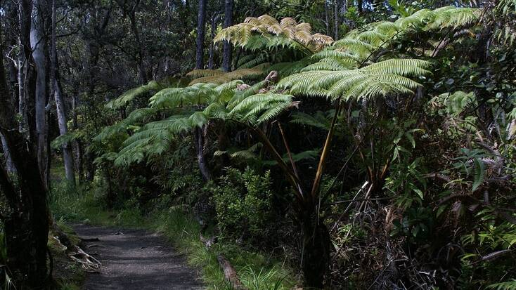 A forest trail for hiking in volcanoes national park