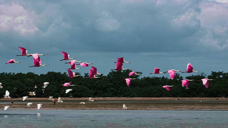 Flamingos flying over the Florida Keys