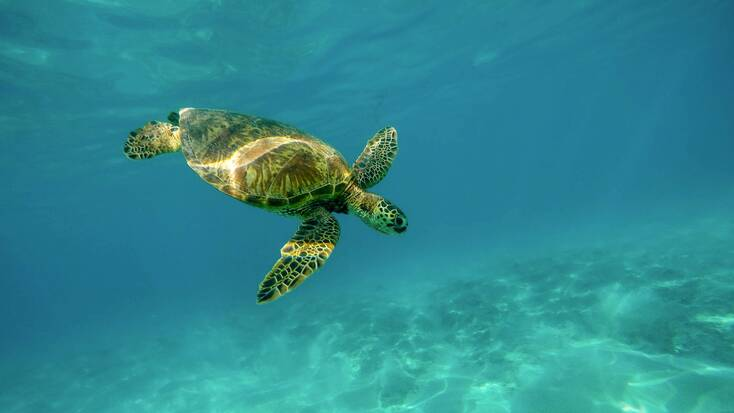 A sea turtle swimming in clear, blue waters