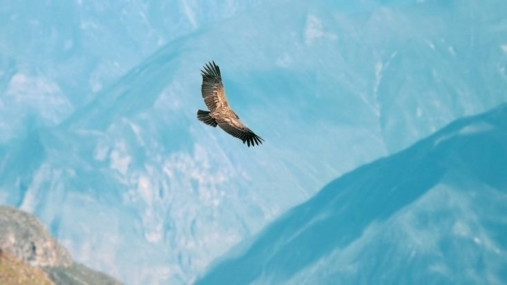Andean condors flying over the Andes, Peru