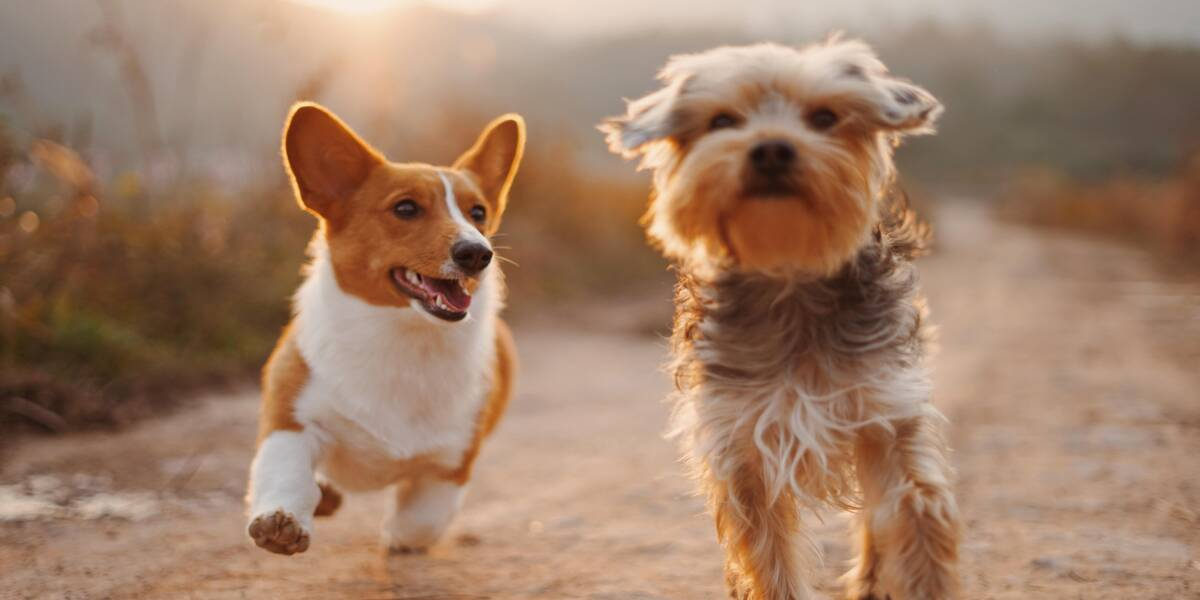 Dogs running along a trail on dog-friendly hikes