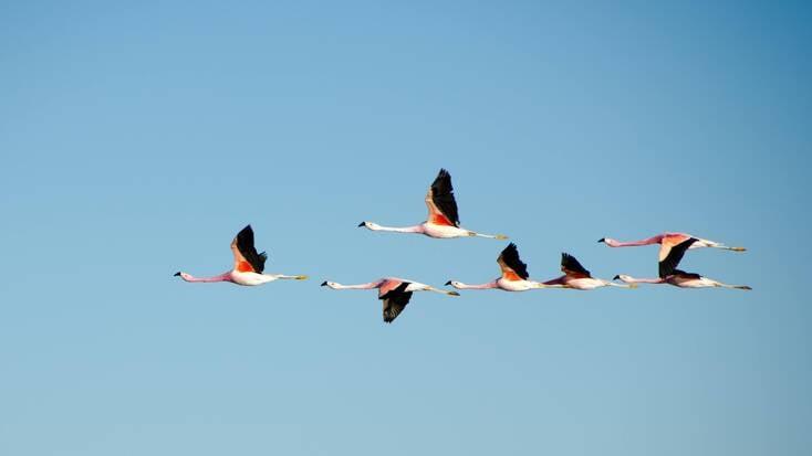 Flamingos flying in clear blue skies
