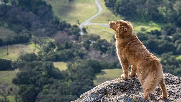 A golden retriever standing on top of a hill enjoying the view