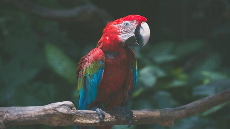 A scarlet macaw, one of many exotic birds in Costa Rica, sitting on a branch