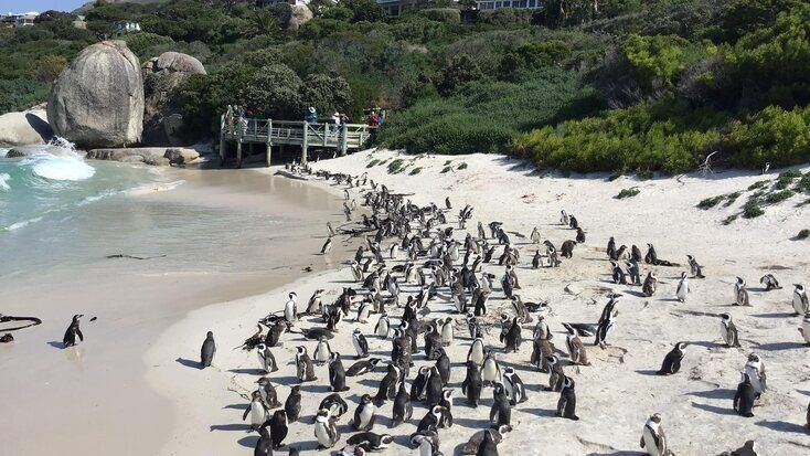 The Simon's Town penguins in South Africa