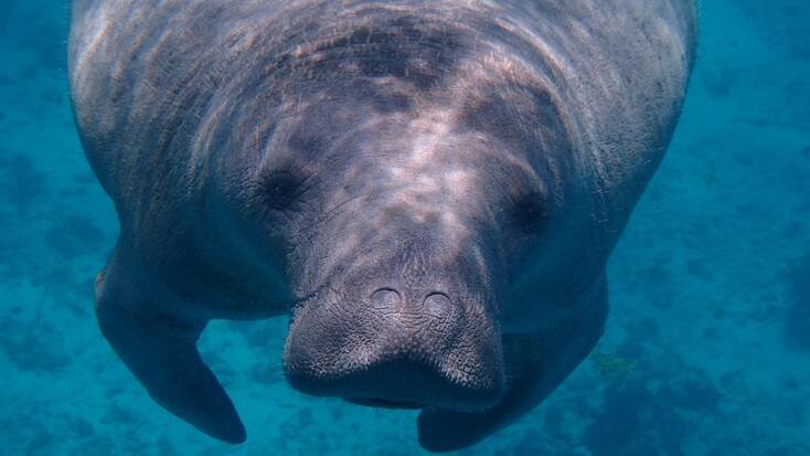 Go to Three Sisters Springs, Florida, and swim with manatees