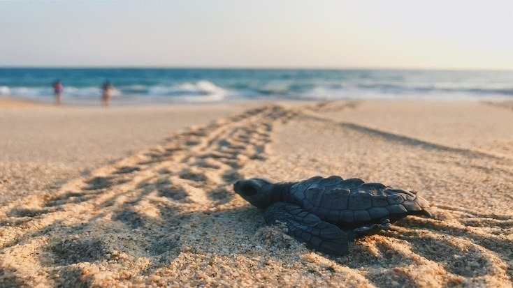 When is sea turtle hatching season? It's complicated...