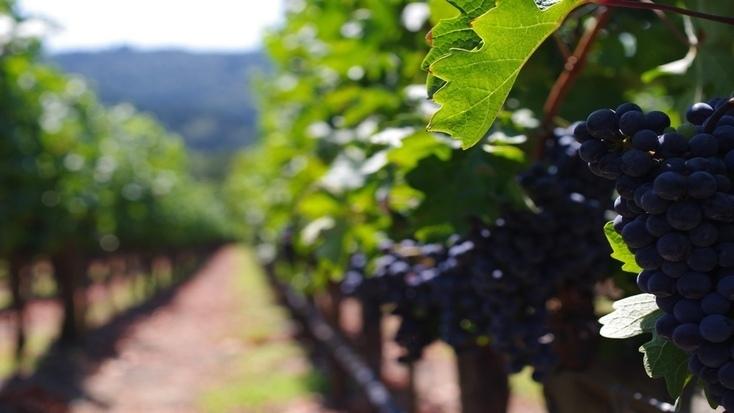 A vine in Napa Valley