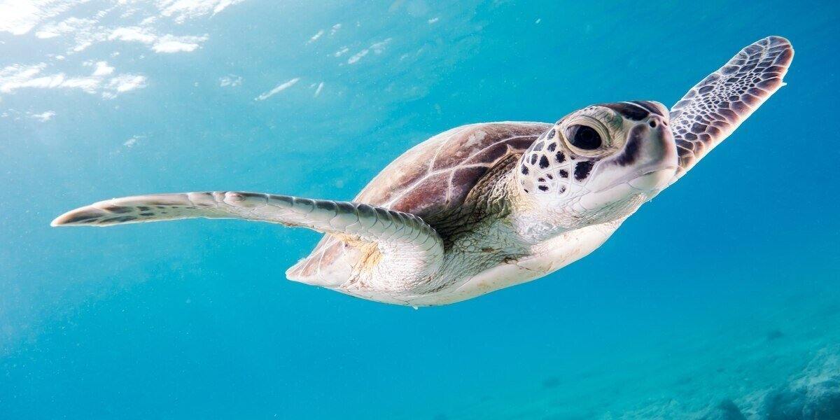 What is a Sea Turtle? This guy of course!