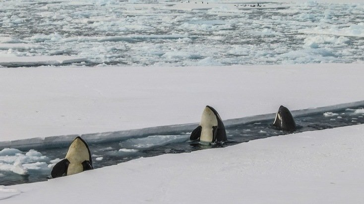 Check out the best places to see killer whales in the Arctic right here!