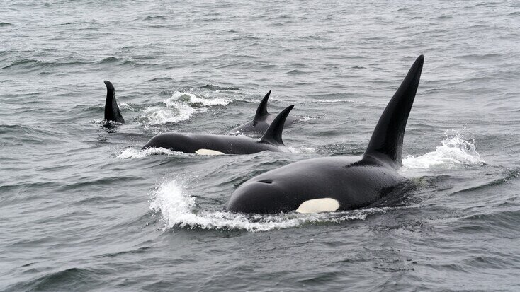 Find the best whale watching & San Juan Islands, WA: kayak with orcas in Argentina!