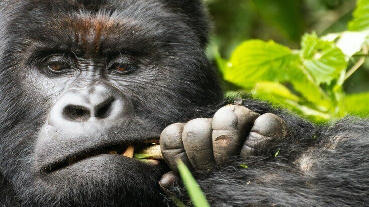 A Gorilla, one of the many benefactors of World Nature Conservation Day and the primary reason we need protected areas